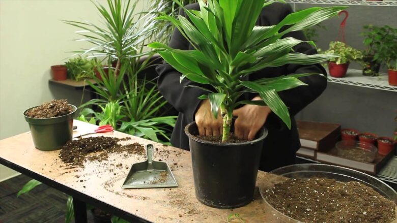 Do You Think Colorama Dracaena Is A Good Plant Option For Your House? 1